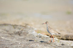 Common red shank at the beach Stock Image