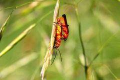 Common Red Soldier Beetle Stock Image