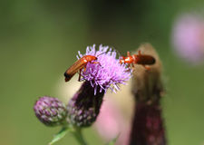 Common red soldier beetle. Closeup of common red soldier beetle Royalty Free Stock Photography