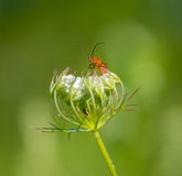 Common red soldier beetle on a flower Royalty Free Stock Photography