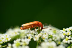Common Red Soldier Beetle Royalty Free Stock Image
