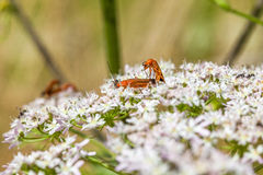 Common red soldier beetle Royalty Free Stock Photos