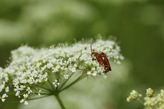 Common red soldier beetle royalty free stock photo