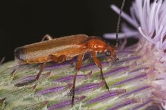 Common red soldier beetle (Rhagonycha fulva) Stock Photo