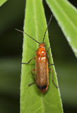 Common red soldier beetle (Rhagonycha fulva) Royalty Free Stock Images