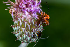 Common Red Soldier Beetle (Rhagonycha fulva) Royalty Free Stock Photos