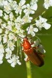 Common Red Soldier Beetle - Rhagonycha fulva. Common Red Soldier Beetle perched on a white flower. Also known as a Bloodsucker Beetle. Taylor Creek Park, Toronto Royalty Free Stock Image