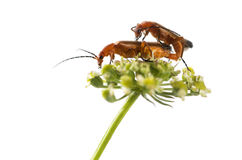 Common red soldier beetle, Rhagonycha fulva Royalty Free Stock Photo