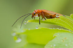 Common red soldier beetle Stock Photos