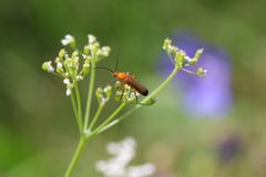 Insect on a flower. Common red soldier beetle Rhagonycha fulva on white umbellifer flower. Some blurry violet and white meadow flowers on green backround royalty free stock photography