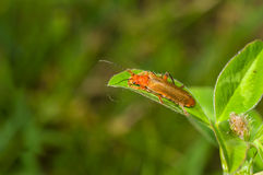 Common red soldier beetle sitting on green leaf Stock Photos