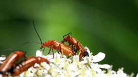 Common Red Soldier Beetle, Soldier Beetle, Rhagonycha fulva. INSECTS - Common Red Soldier Beetle, Soldier Beetle, Rhagonycha fulva - copulation stock video