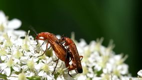 Common Red Soldier Beetle, Soldier Beetle, Rhagonycha fulva. INSECTS - Common Red Soldier Beetle, Soldier Beetle, Rhagonycha fulva - copulation stock footage
