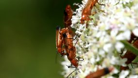 Common Red Soldier Beetle, Soldier Beetle, Rhagonycha fulva. INSECTS - Common Red Soldier Beetle, Soldier Beetle, Rhagonycha fulva - copulation stock video footage