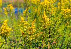 Common red soldier beetle visits a yellow flowering goldenrod pl Royalty Free Stock Photography
