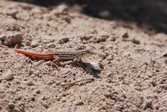 A common red tailed lizard in Spain Royalty Free Stock Photos