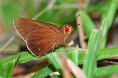Common redeye. Butterfly from Thailand background Stock Image