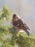 A Common Redpole rests on a Balsam bough Royalty Free Stock Photos
