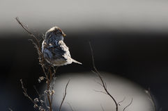 The Common Redpoll./. The Common Redpoll, Carduelis flammea, is a species in the finch family Royalty Free Stock Photography