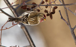 Common Redpoll Stock Image