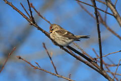 Common redpoll. A redpoll waits for her turn at the feeder Royalty Free Stock Photography