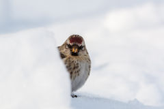 Common redpoll. (Acanthis flammea) behind a block of snow Stock Photos