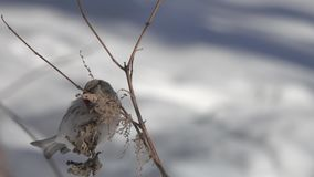 Common redpoll /Acanthis flammea/ bird  eats seeds from a dry branch of nettle in the winter, closeup