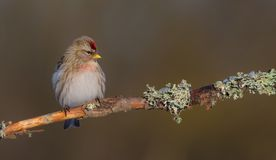 Common Redpoll - Acanthis flammea Royalty Free Stock Images