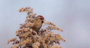 Common Redpoll - Acanthis flammea Royalty Free Stock Image