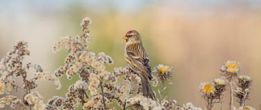 Common Redpoll - Acanthis flammea Stock Images