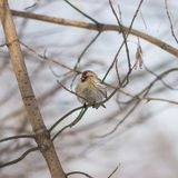 Common Redpoll or Acanthis flammea close-up portrait on branch, selective focus, shallow DOF stock image