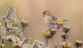 Common Redpoll - Acanthis flammea Stock Image