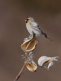 Common Redpoll perched on milkweed in winter stock image