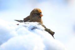 Common redpoll Stock Photo