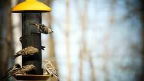 Common Redpoll bird, Acanthis flammea, several birds at feeder. Soft background stock footage