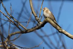 Common redpoll bird Carduelis flammea on a branch royalty free stock images