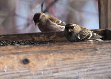 Common Redpoll Royalty Free Stock Image