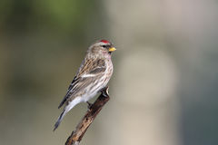 Common Redpoll on a branch Stock Photography