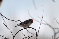 Common Redpoll on a branch royalty free stock photo