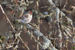 Common Redpoll on a branch. Royalty Free Stock Photos