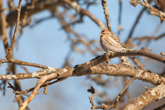 Common Redpoll on a branch. Stock Image