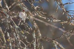 Common Redpoll on a branch. Stock Photos