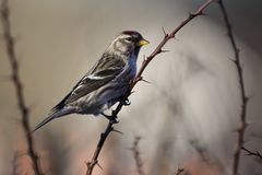 Common redpoll on a branch in Sweden stock photo