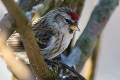 Common redpoll on a branch,Sweden Royalty Free Stock Image