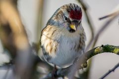 Common redpoll on a branch,Sweden Royalty Free Stock Photography