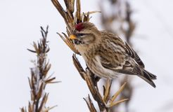 Common redpoll eats grass primrose seeds in snowy winter royalty free stock photos