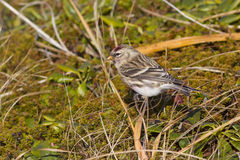 Common redpoll that feeds on grass in tundra Royalty Free Stock Photos