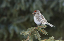 Common Redpoll Royalty Free Stock Photography