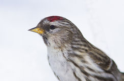Common Redpoll portrait Stock Photography