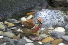 Common Redpoll - male. Common Redpoll (Carduelis flammea) take a water bath (Germany, Europe Stock Photography